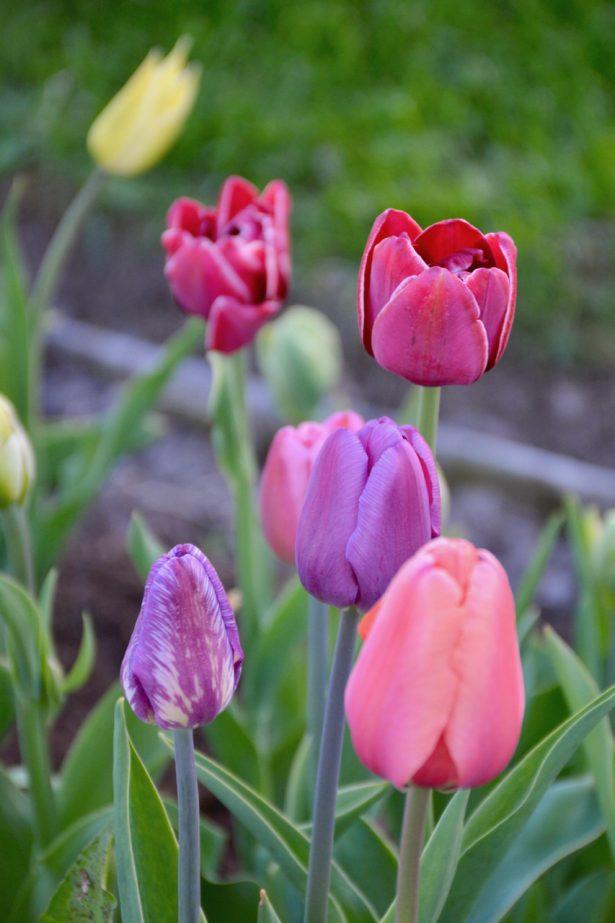 Tulppaanit_puutarhanvarilaiskat