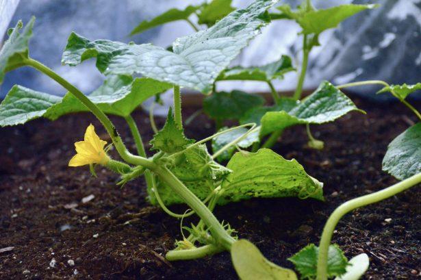 avomaankurkku-taimi
