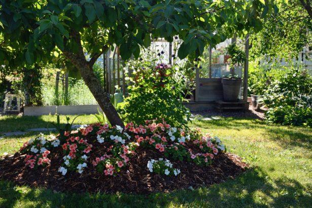 ahkeraliisa-istutus-omenapuun-alle