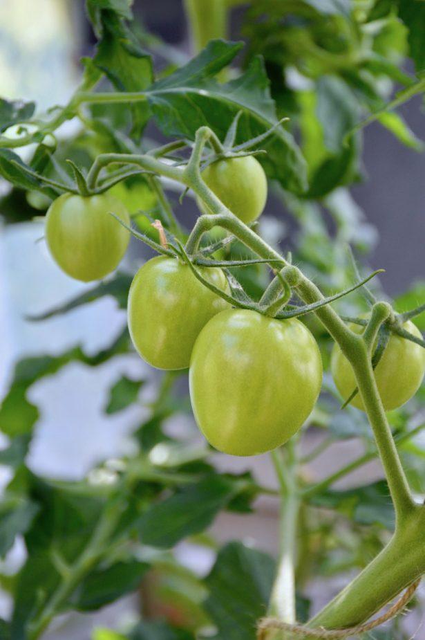 tomaatti_shirley