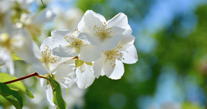 Suloiset jasmikkeet koristavat puutarhaa