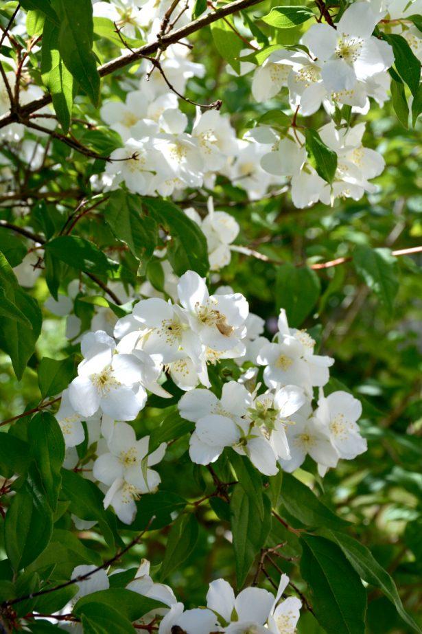 jasmike-kukka
