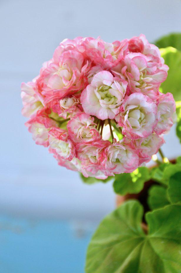ruusunnuppupelargoni
