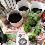 Taimien siirto suurempiin ruukkuihin ja kokkailua chileistä