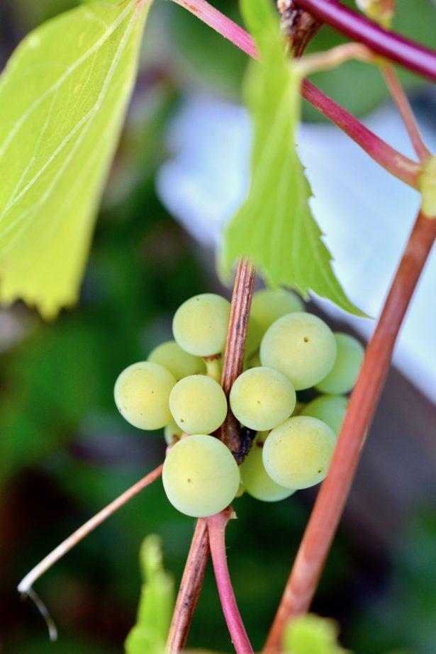 viiniköynnös-rypäle