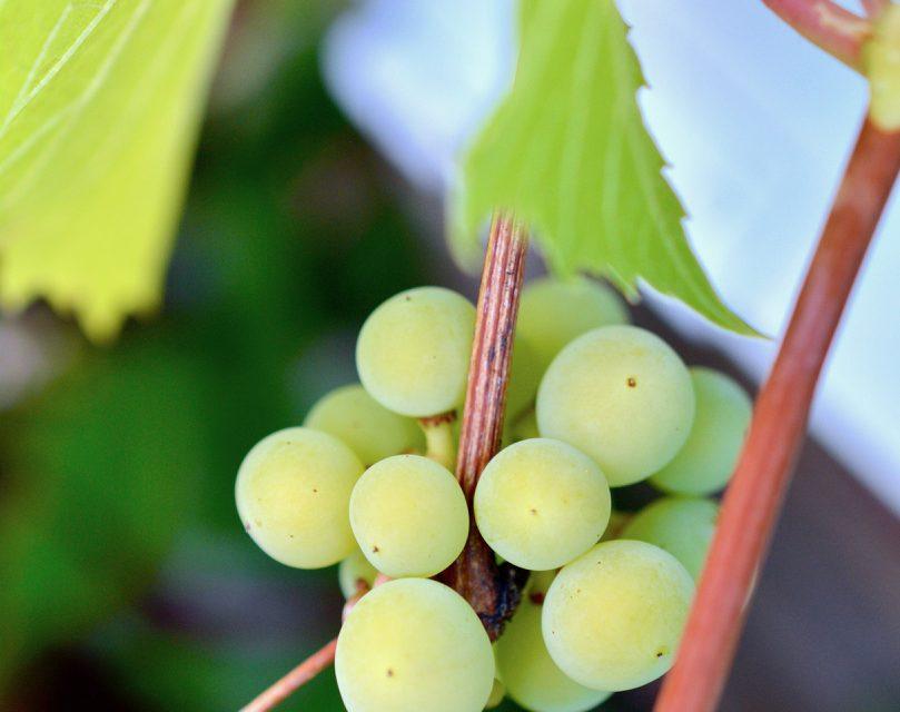 Viiniköynnös tuo iloa myös ruukussa