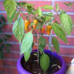 Kuulumisia ja chilikastikkeen keittelyä