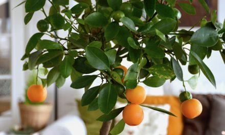 Kalamondiini, pikkuinen sitruspuu
