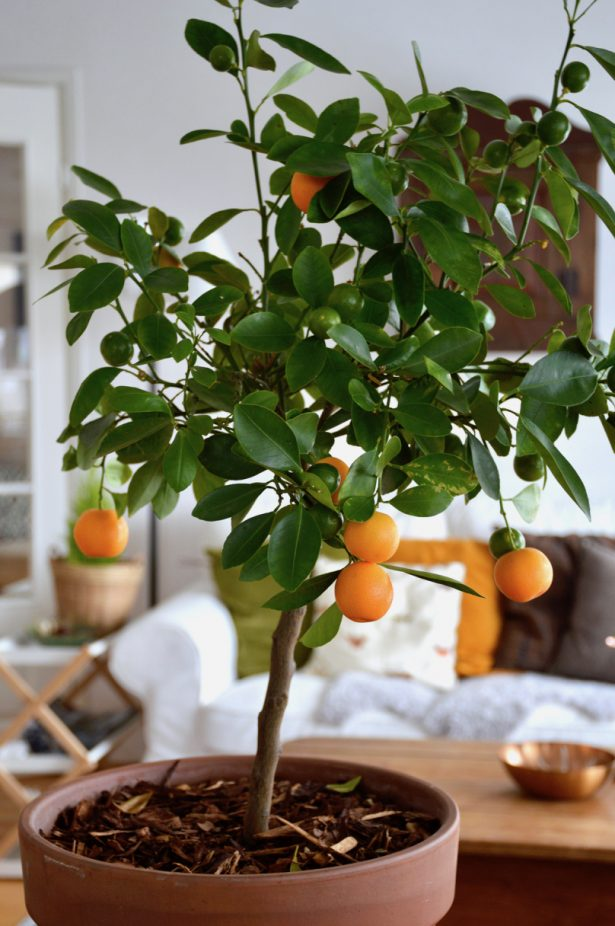 kalamondiini-hedelmät