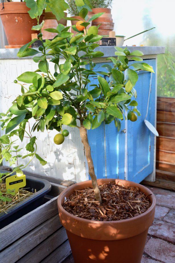 kalamondiini-kasvihuone