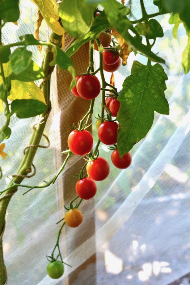 tomaatit-kasvihuoneessa