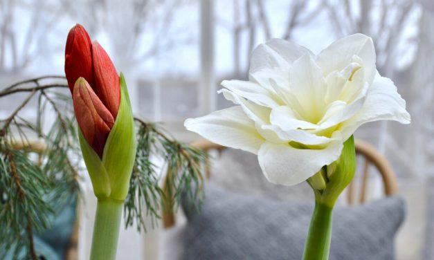 Amaryllikset ehtivät kukkaan!