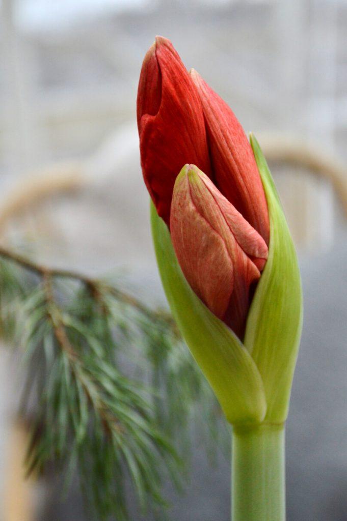 punainen-amaryllis-red-lion-nuppu