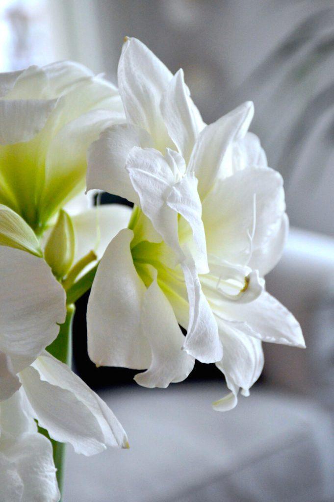 amaryllis-kerrattu