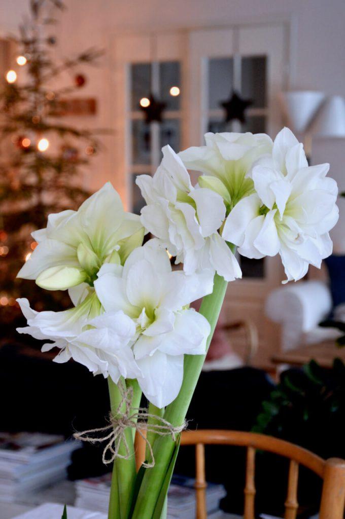 amaryllis-alfresco