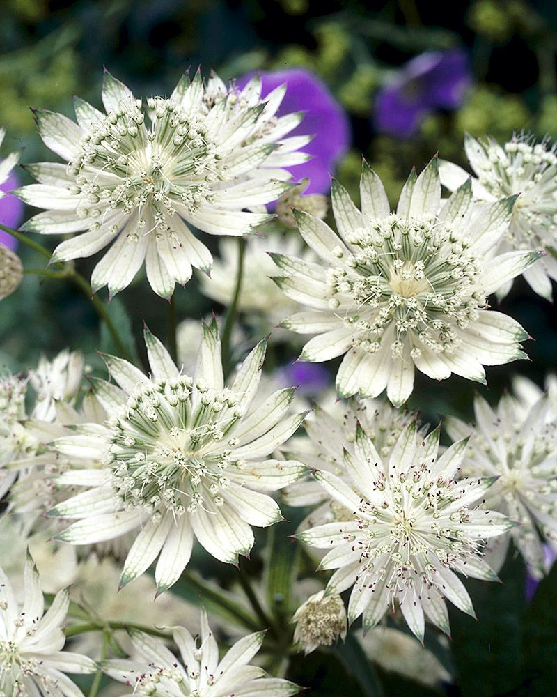 valkoinen-isotähtiputki