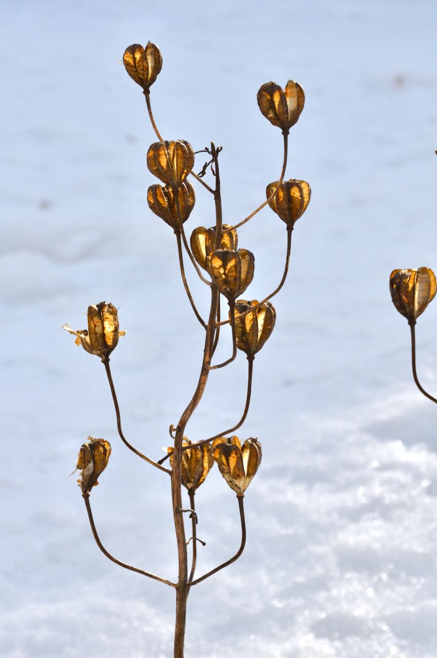 talventörröttäjä-varjolilja