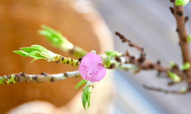 Persikkapuu ja sen talvetus