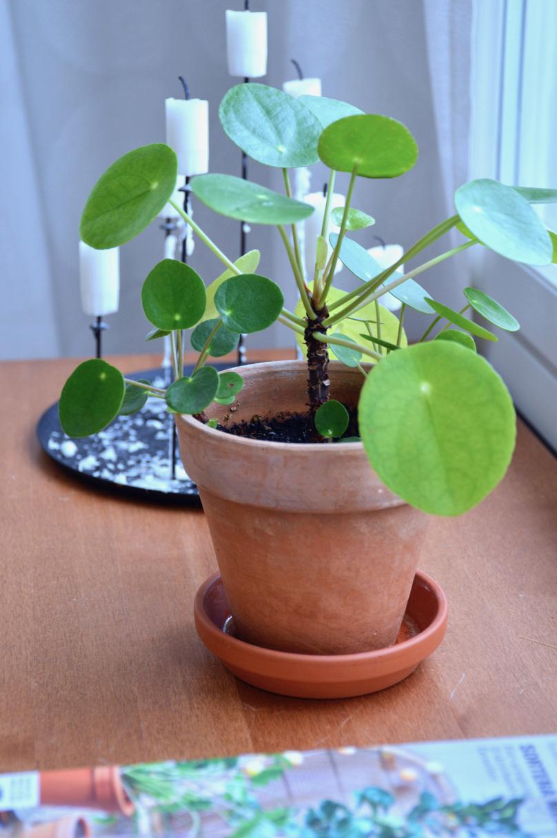 viherkasvi-kilpipiilea