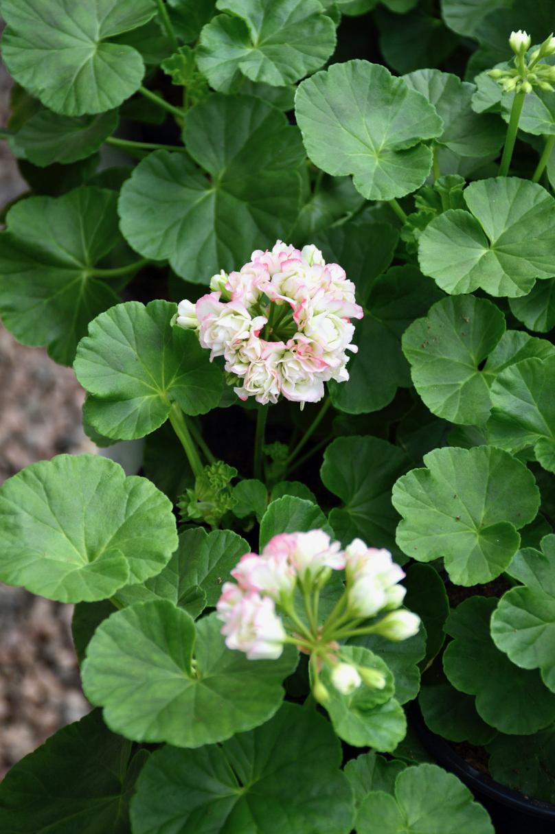 ruusunnuppupelargoni-apple-blossom