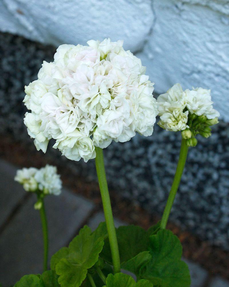 ruusunnuppupelargoni_kronprinsessa_mary