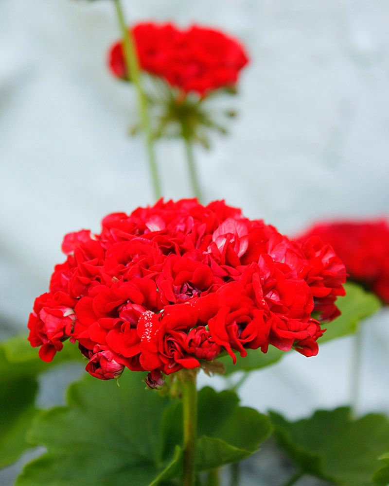 ruusunnuppupelaroni_red_rosebud