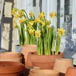 Kevään keltaista – tetenarsissit