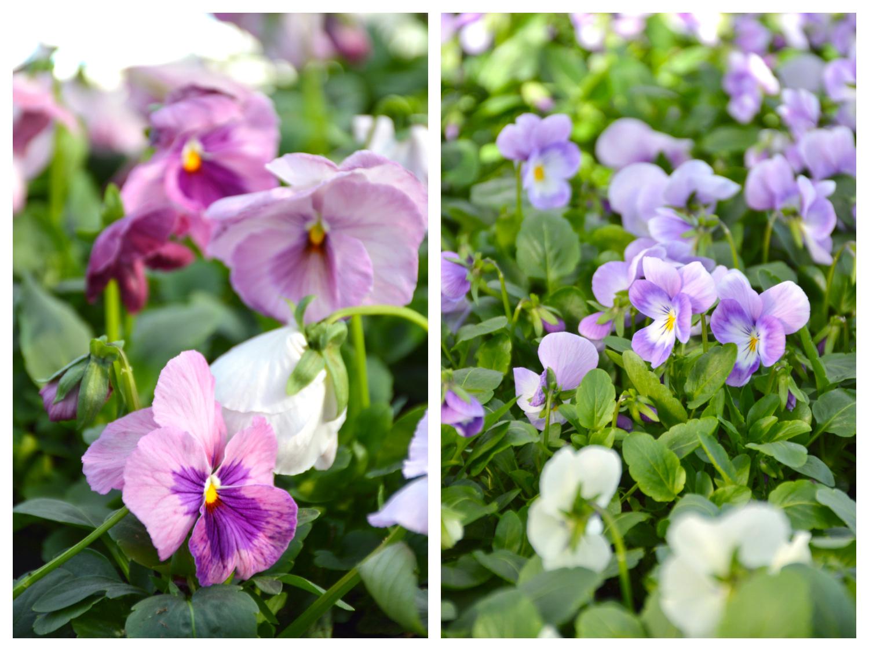 orvokit-roosa-violetti