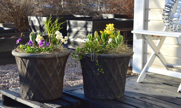 Kevään ensimmäiset ruukkuistutukset
