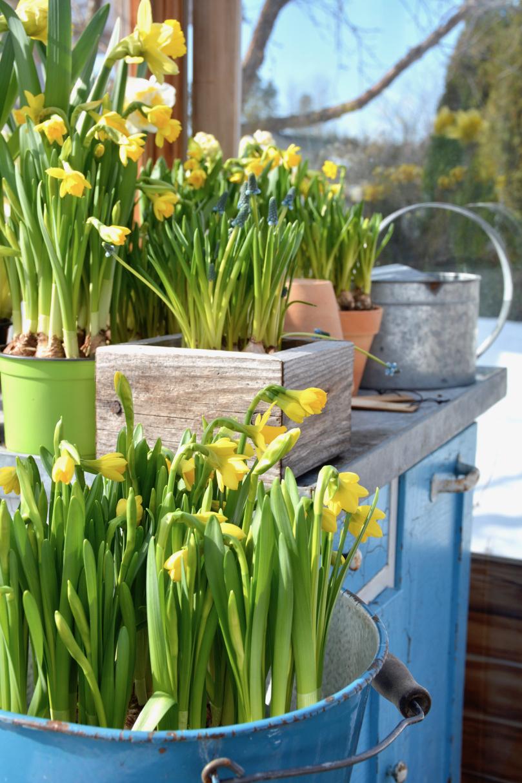 kevään-sipulikukkia-kasvihuoneessa