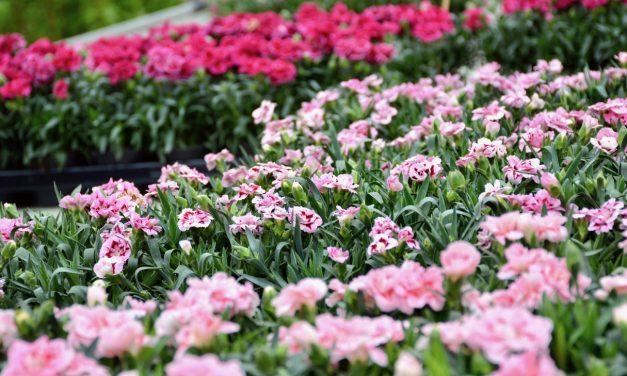 Tarhaneilikat – kesän ahkerat kukkijat