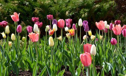 Syyssipulien istutus – kukkaloistoa kevääseen