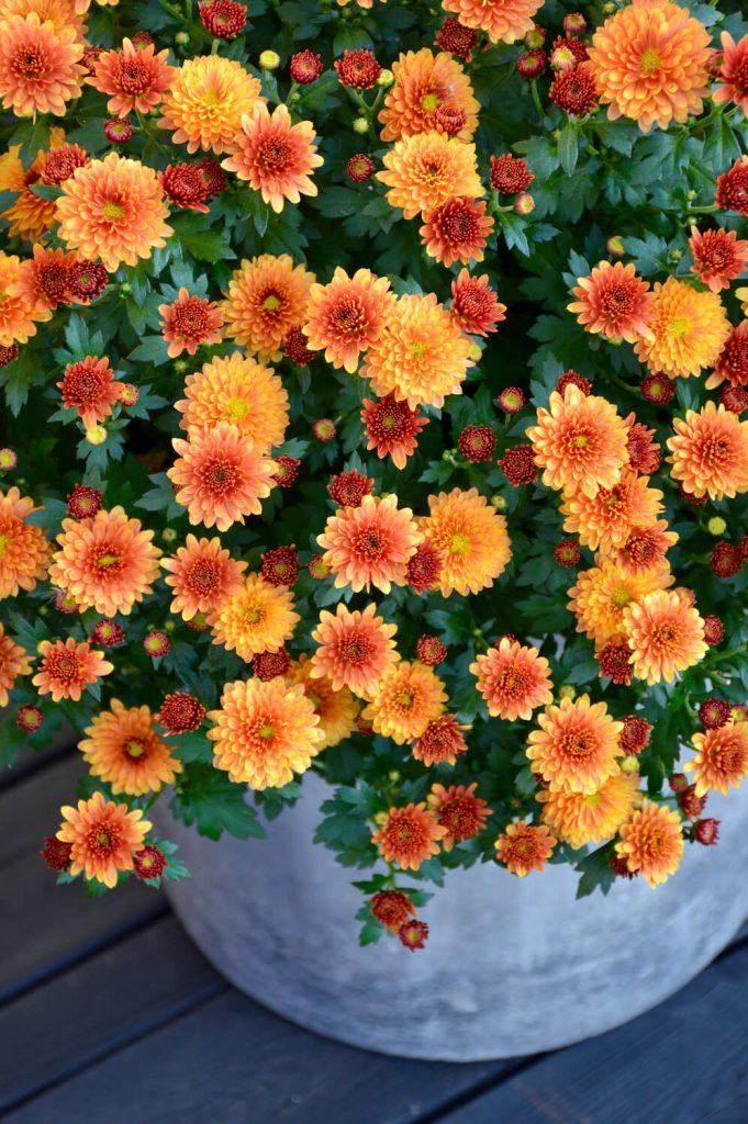 oranssi-pallokrysanteemi