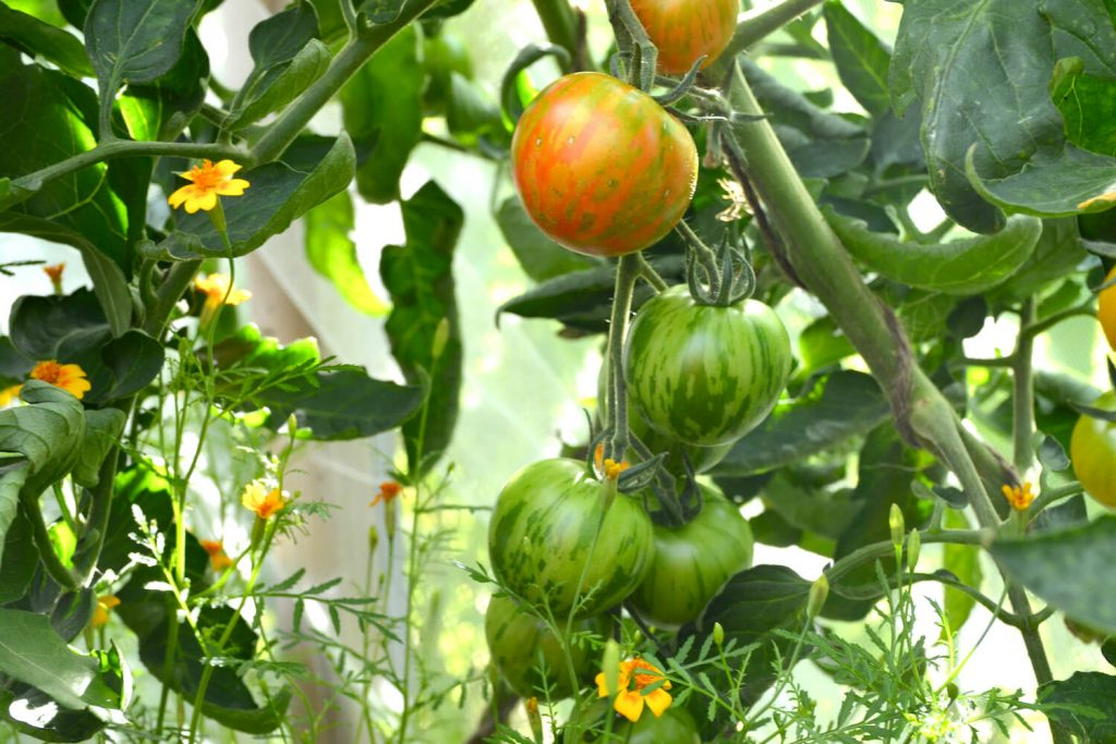 tigerella-tomaatti
