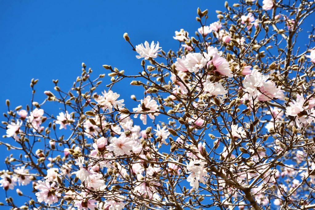 magnoliapuu