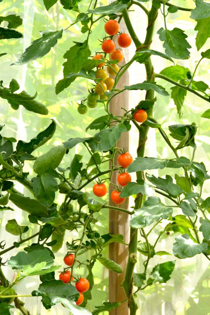 sungold-kirsikkatomaatti