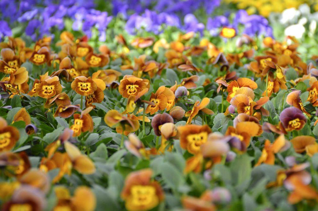 puutarhamyymälä-ruosteen-keltainen-orvokki