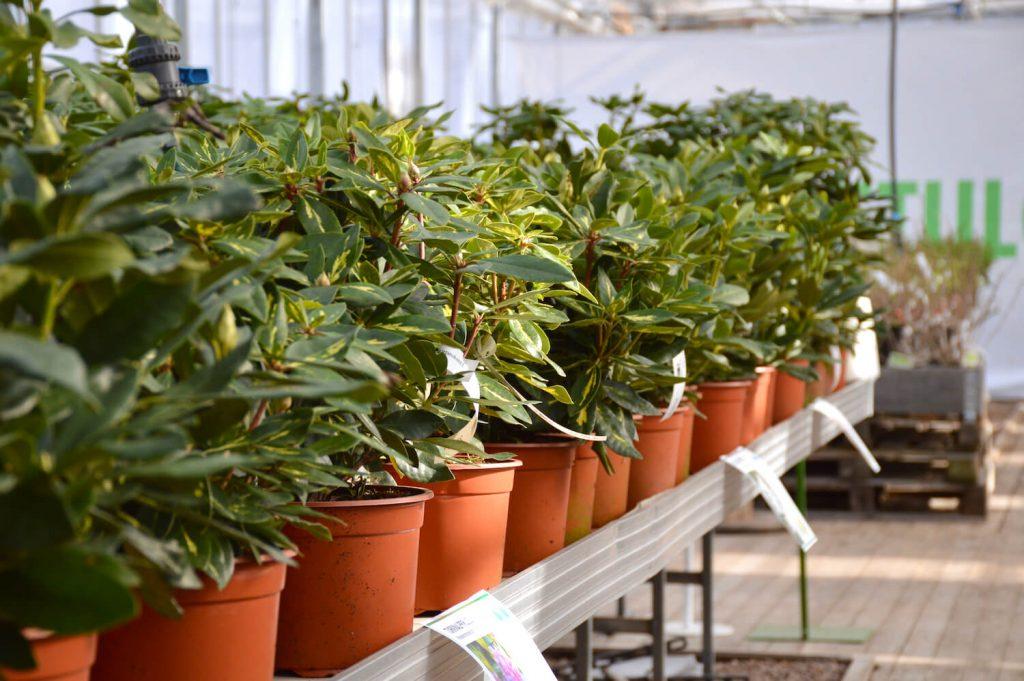 rhodot-alppiruusut