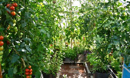 Tomaatin karaisu ja veikeä marjatomaatti