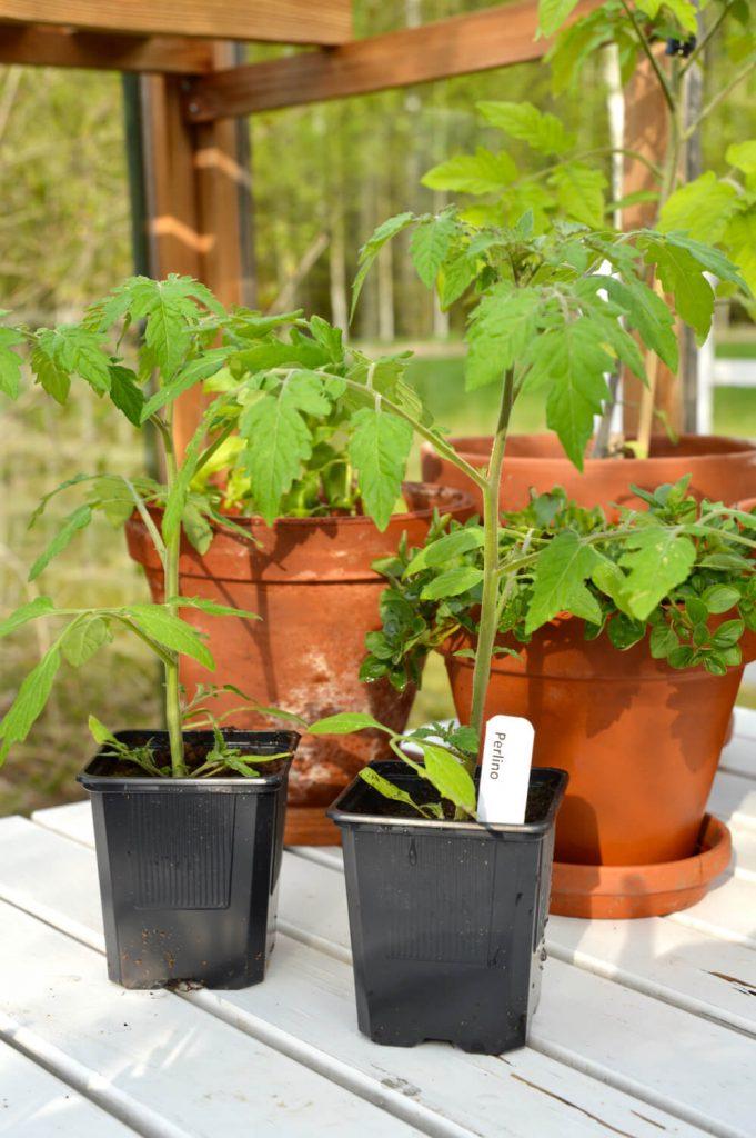 tomaatintaimet