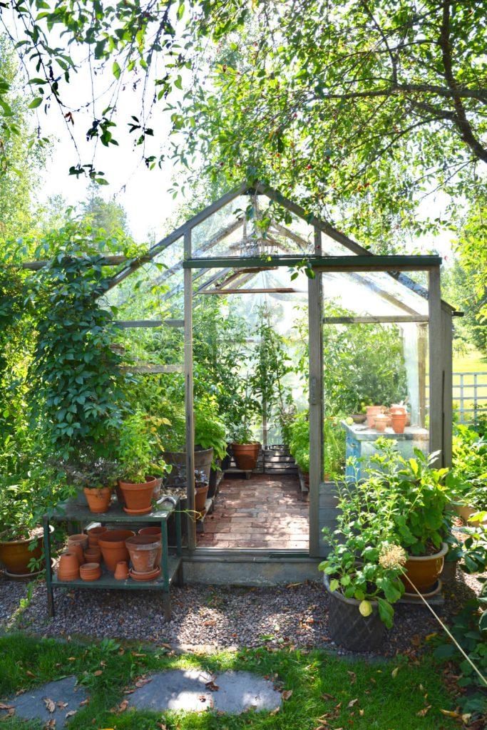 tomaatin-kasvatus-kasvihuone