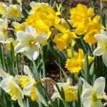 Narsissit – kaunis kevät tehdään jo syksyllä