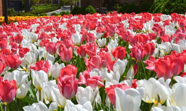 Tulppaanitykitystä – inspiraatiota maailmalta