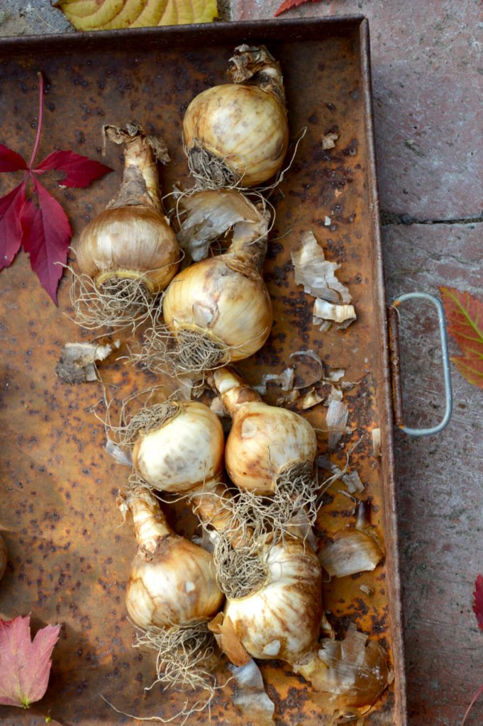 narsissin-sipuleita