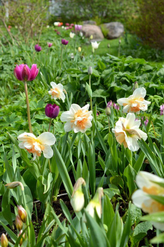 kevätpuutarha-narsissit